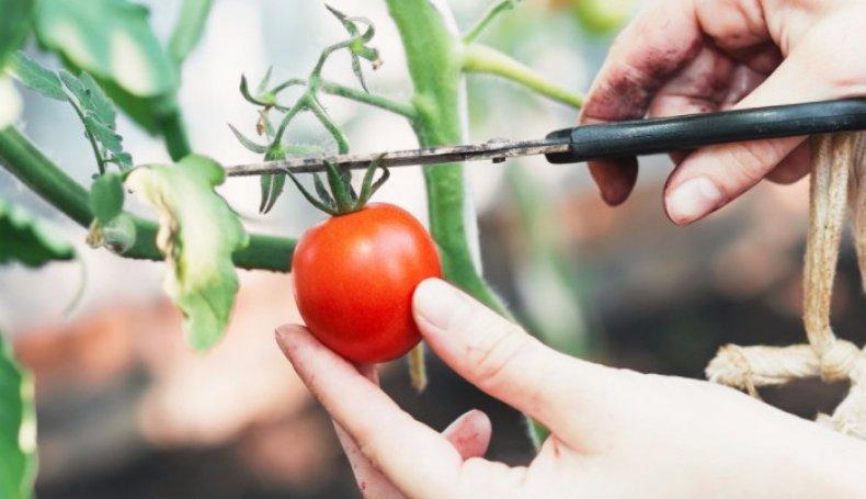 Как собрать семена помидоров?