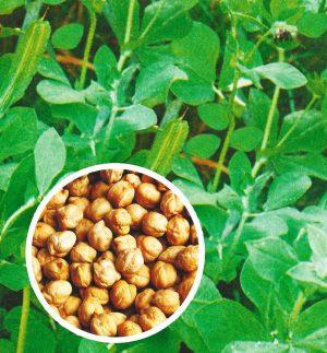 Семена Нут Деликатес