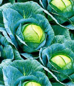 Семена капусты Июньская