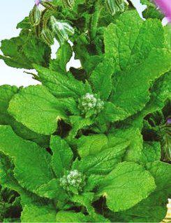 Семена огуречной травы Бораго (имп)