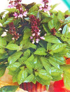Семена Базилика зеленого карликового Мини