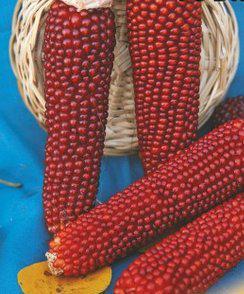 Семена кукурузы Поп корн красная
