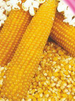Семена кукурузы Поп корн красный