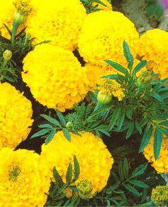 Бархатцы Лимонно-желтые