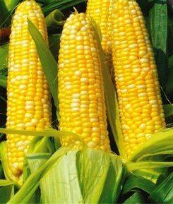 Семена кукурузы сахарной Бостон