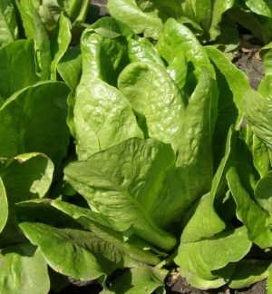 Семена салата Скарб