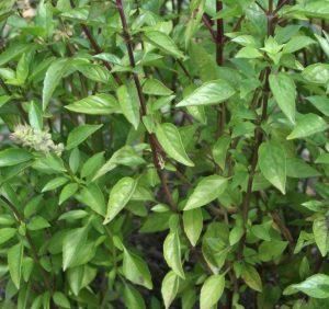 Семена Базилика зеленого Геновезе (имп)