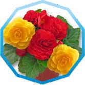 Бегонія клубнева великоквіткова густомахрова