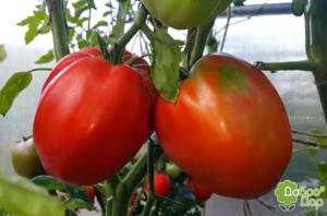Семена томатов Большая девочка