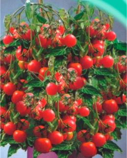 Семена томатов Жемчужинка розовая ( Балконный)