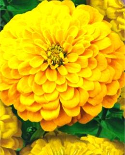 Циния Канарейка желтая