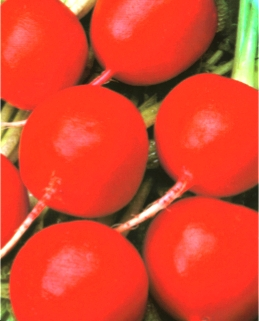 Семена редиса Заря