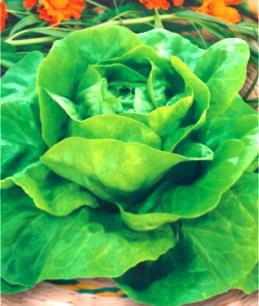 Семена салата Латук