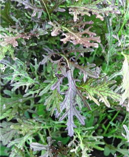 Семена салата Мизуна красный