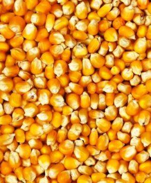 Семена кукурузы кормовой Вымпел