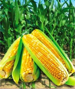 Семена кукурузы сахарной  Рамондия F1