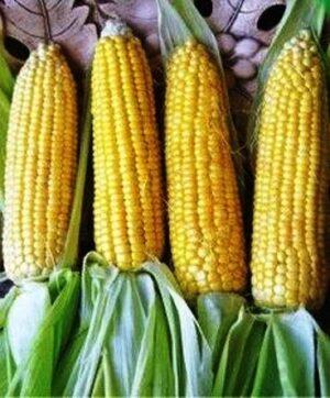 Семена кукурузы сахарной Свит Голд