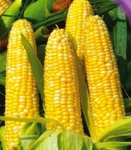 Семена кукурузы сахарной Кукс делайт (США)