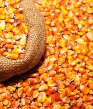Семена кормовой кукурузы Закарпатская