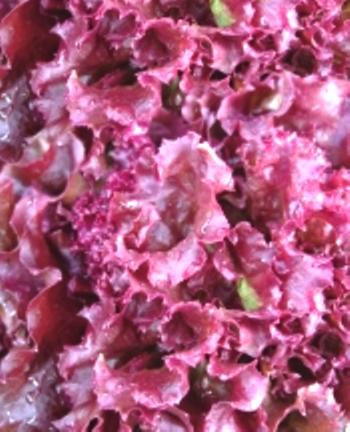 Семена салата листового Апачи