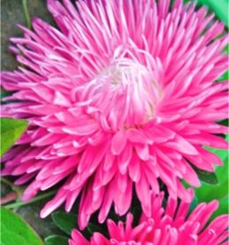 Астра Ежиковидная розовая