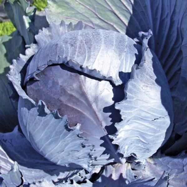 Семена капусты краснокачанной Гаранси F1 20 шт.