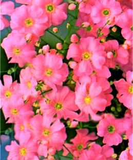 Гипсофила розовая однолетник