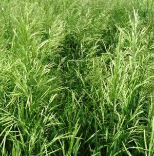 Семена Стоколос (Костер)