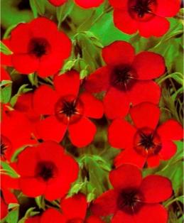 Лен крупноцветковый красный